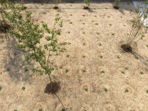 クラピアを植えて、約四週間後の様子