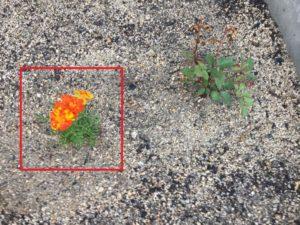 イタリアンパセリとマリーゴールドの苗を植えました