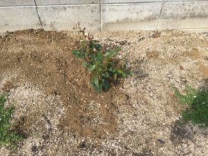 頂いたローズマリー、タイム、ミントの苗を植えました