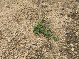 クラピアを植えて、約10週間後の様子