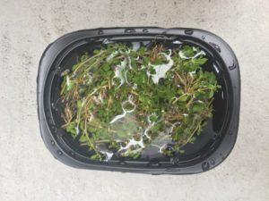 クラピナの追加の挿し芽を行いました
