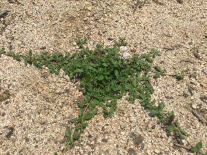 クラピアの挿し芽の報告