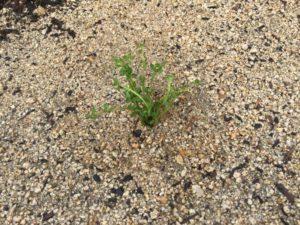 【第3段】クラピナの追加の挿し芽を行いました