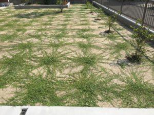クラピアを植えて、約16週間後の様子