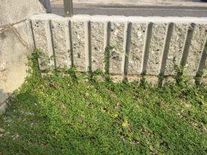 コンクリートの上に成長したクラピアのカット