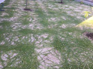 クラピアに2回めの追肥を行いました