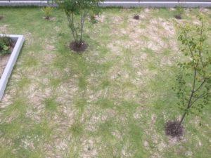 クラピアを植えて、約22週間後の様子
