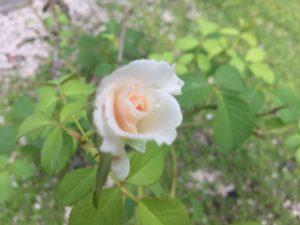 バラの花が咲いていた