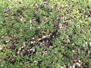 クラピアの芝刈りと有機一発の再追肥