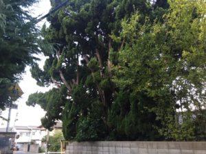 大きく育ちすぎた木