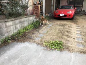 犬の糞の犯人(犬)発見!
