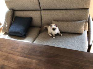愛猫ラムちゃん