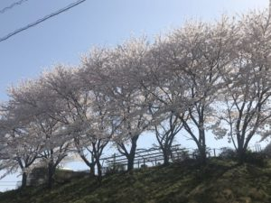 2018年春、桜満開!