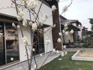 ジューンベリーの花が咲きました