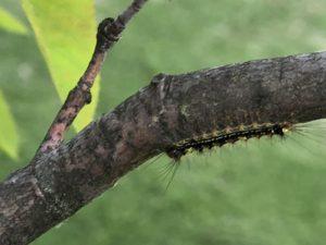 ジューンベリーの毛虫退治に「ベニカJスプレー」