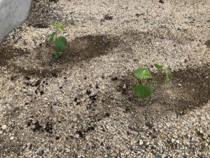 枝豆やトマトを植えました