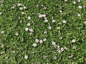 クラピアの花にチョウ