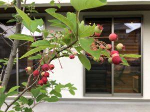 ジューンベリーの実を収穫
