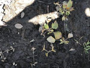 スギナに除草剤を撒いた結果