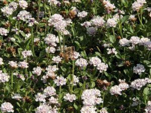 クラピアにミツバチ