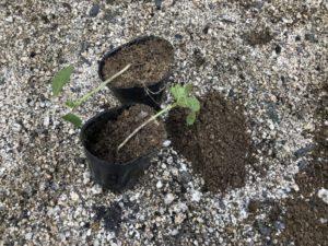 オクラの苗を植えました