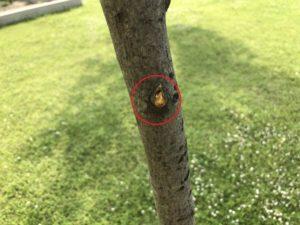 ジューンベリーの枝が折られる