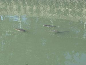 川に生息している魚やカメ