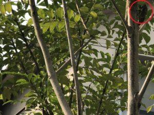 庭のシマトネリコに止まって鳴くクマゼミ