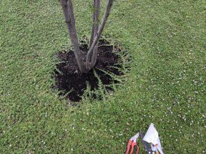 植栽の周りのクラビアをカット