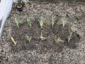 頂いた万能ねぎの苗を植えた