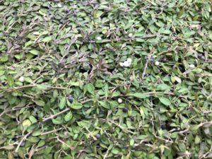 クラピアに有機一発の肥料