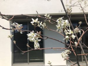 ジューンベリーが咲いていた