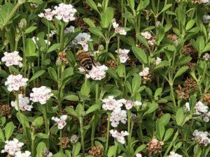 クラピアにミツバチが集まっている