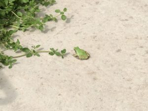 雨蛙(アマガエル)