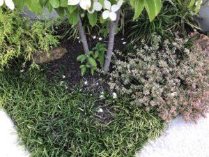 トキワヤマボウシの花びらが散る
