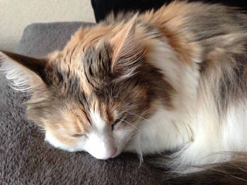 ぐー 猫毛が冬毛 | フォルクスワーゲン・ポロと暮らす日々 猫毛が冬毛 フォルクスワーゲン・ポロ